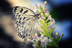 Paper Kite, Rice Paper (Idea leuconoe) black and white butterfly Royalty Free Stock Photography