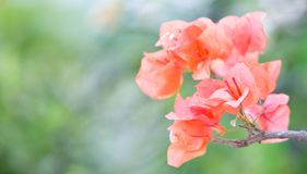 Paper-like bougainvillea flower at end of a branch Royalty Free Stock Photo