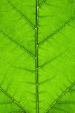Paper mulberry  Budding tree Royalty Free Stock Photo