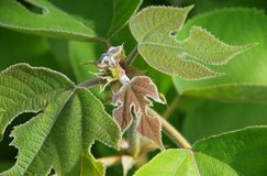 Paper mulberry Stock Photography