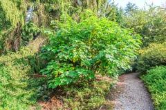Paper mulberry, Morus papyrifera synoniem Broussonetia papyrifera Royalty Free Stock Photo