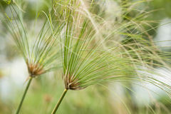 Paper reed plant Stock Image