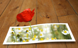 From the paper to reality. Poppy looming from a printed photo paper, on the floor Royalty Free Stock Photo