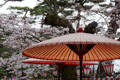 A Paper Umbrella in Kanazawa. A Paper Umbrella in front of some Cherry Blossoms in Kanazawa stock photos