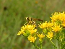 paper wasp 2 Royaltyfri Fotografi