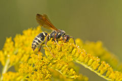 Paper wasp Stock Images