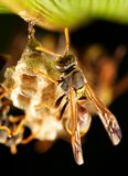 Paper wasp. Wasp tending a nest, hanging from a leaf Stock Photo