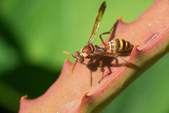 Paper wasp in aloe leaf Royalty Free Stock Photography