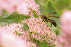 Paper Wasp Stock Image
