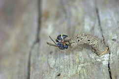 Paper wasp built hive Stock Photo