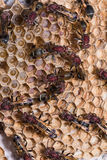 Paper wasp. Close up of brown paper wasp workers taking care of their brood combs which accommodate young larvae and eggs Royalty Free Stock Photo