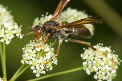 Paper wasp closeup on poison hemlock flowers in Connecticut. Stock Photos