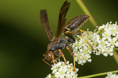 Paper wasp closeup on poison hemlock flowers in Connecticut. Royalty Free Stock Photography