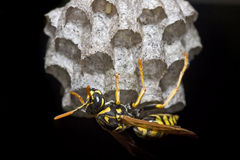 paper wasp för byggnadsrede arkivbild