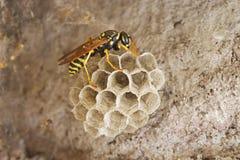 paper wasp för rede royaltyfri fotografi