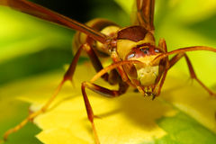 Paper wasp feeding on flower nectar Stock Photo