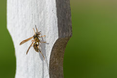 Paper wasp. Hanging out on a wooden fence Royalty Free Stock Photography