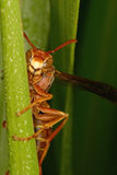 Paper Wasp Hiding in the Dewy Grass Stock Photo