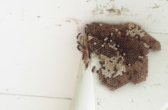 Paper wasp, Hymenoptera, Omnivorous on nest colony under house roof Royalty Free Stock Photo