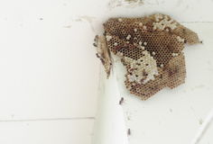 Paper wasp, Hymenoptera, Omnivorous on nest colony under house roof Stock Photography