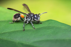 Paper Wasp Stock Photography