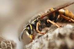 Paper wasp royalty free stock images