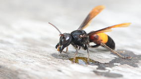 Paper wasp. Stock Photography