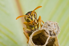 Paper wasp on nest. Macro shot of a paper wasp on nest stock photos