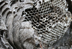 Paper wasp nest. Old broken open paper wasp nest showing interior cells stock photo