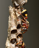 Paper wasp and nest Stock Image