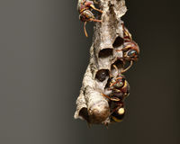 Paper wasp and nest Royalty Free Stock Photo