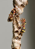 Paper wasp and nest Stock Photo