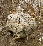 Paper Wasp nest. A finished Paper Wasp nest haning on a Lilac bush in Autumn royalty free stock photo