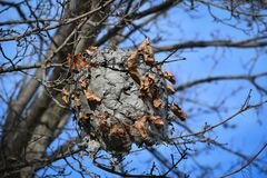 Paper Wasp Nest Hanging in A Tree. A paper wasp nest hanging in a tree surrounded by dead leaves and twigs from the tree royalty free stock image
