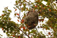 Paper Wasp Nest. A paper wasp nest hangs amid fall foliage royalty free stock photography
