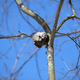 Paper Wasp Nest. In a tree stock photography