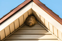 Paper wasp nest on triangular roof siding. Gray paper wasp nest in corner of triangular roof against siding stock photography