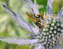 Paper wasp on sea holly flower Royalty Free Stock Photos