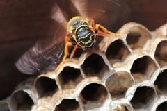 Paper Wasp sitting on cell nest Stock Photos