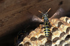 Paper Wasp sitting on nest Stock Photos