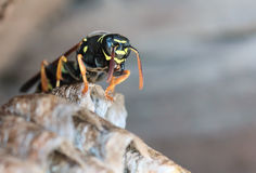 Paper Wasp sitting on nest Royalty Free Stock Images