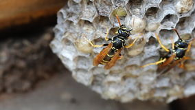 Paper Wasp sitting on nest stock footage