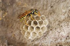 Paper Wasp On Nest Royalty Free Stock Photography