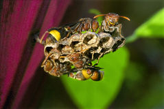 Paper wasps on larvae cells Royalty Free Stock Image
