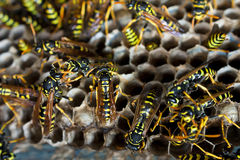 Paper wasps tending nest Royalty Free Stock Photos