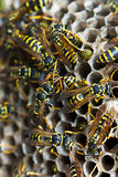 Paper wasps tending nest Royalty Free Stock Images