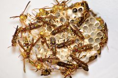 Paper wasps Royalty Free Stock Image