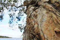 Paperbark树 免版税库存照片