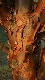 Paperbark-Ahorn Lizenzfreies Stockfoto