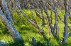 Paperbark-Bäume stockbild